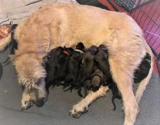 Chiots Irish Wolfhound nés le 17/10/20
