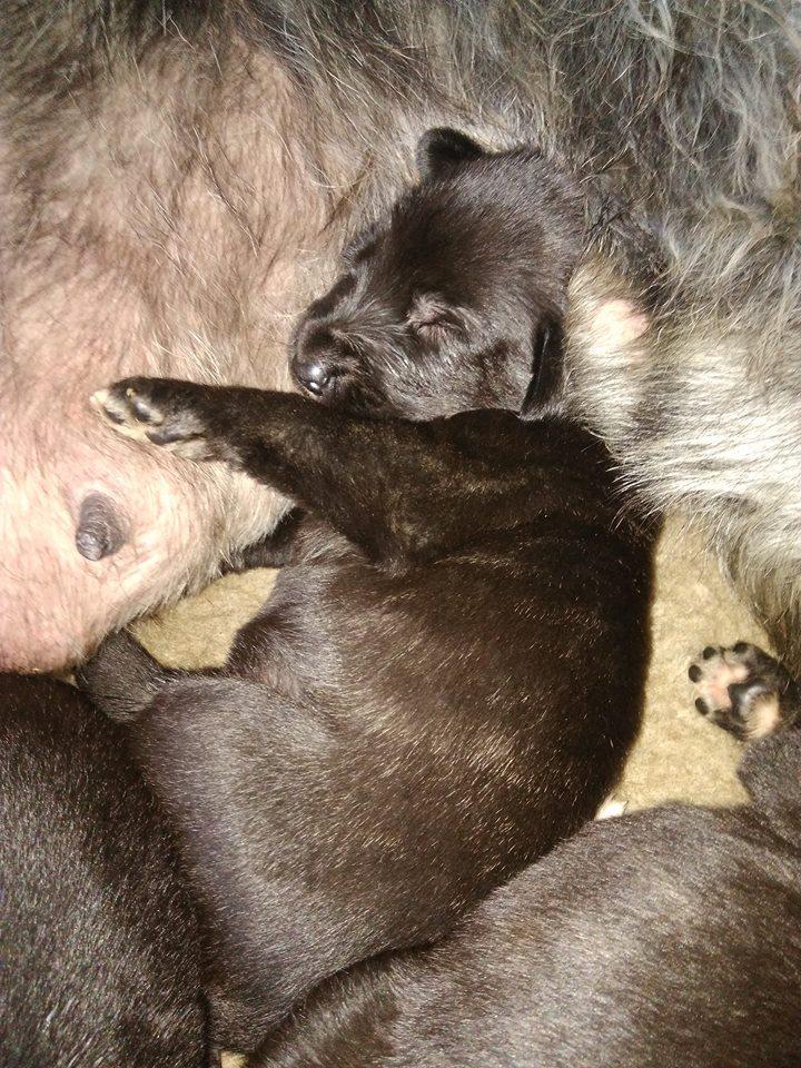 Naissance des chiots de Lya le 30 octobre : 4 femelles et 2 mâles