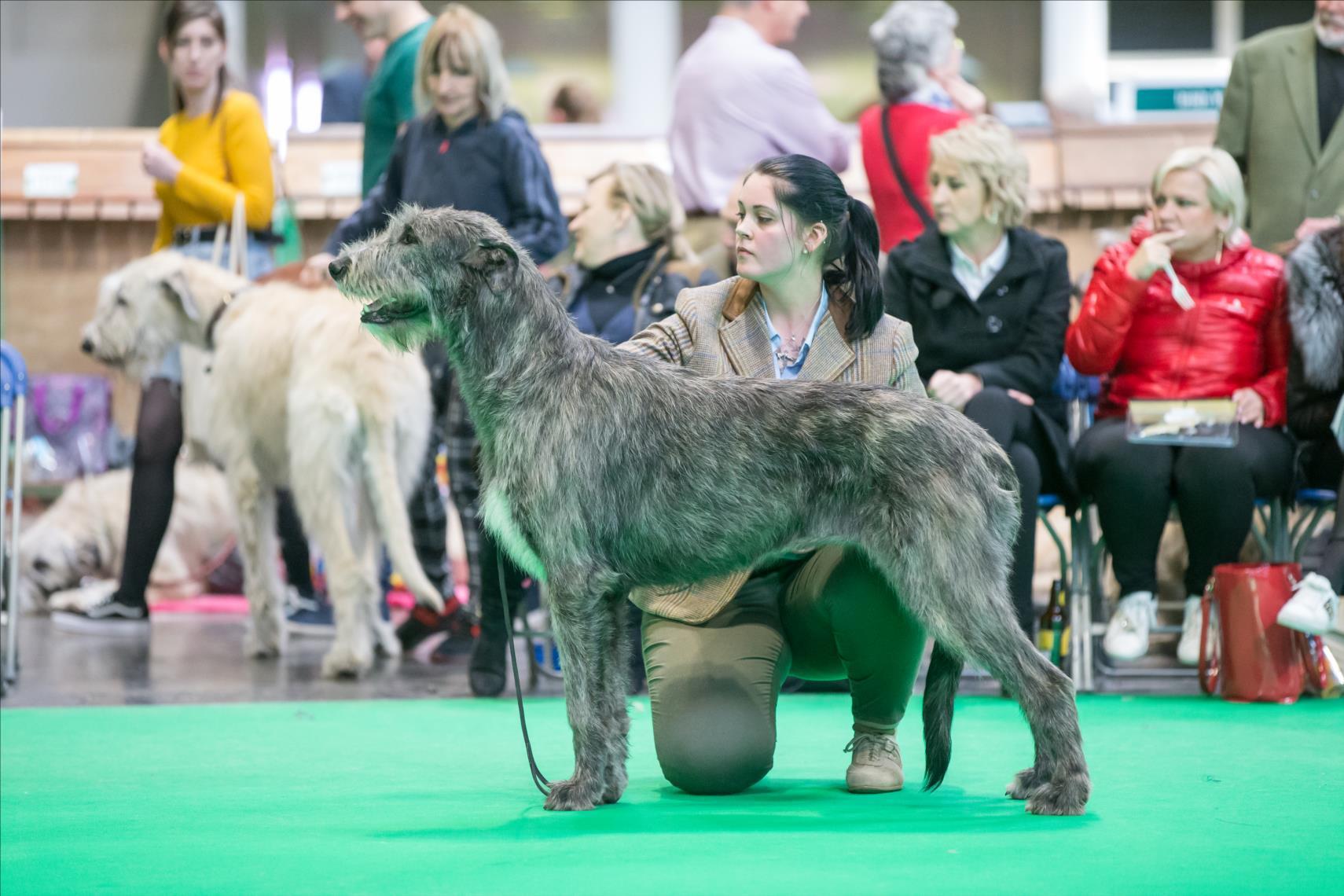 Noblesse de la Mascotte Couronnée obtient le BOS à la Crufts 2020