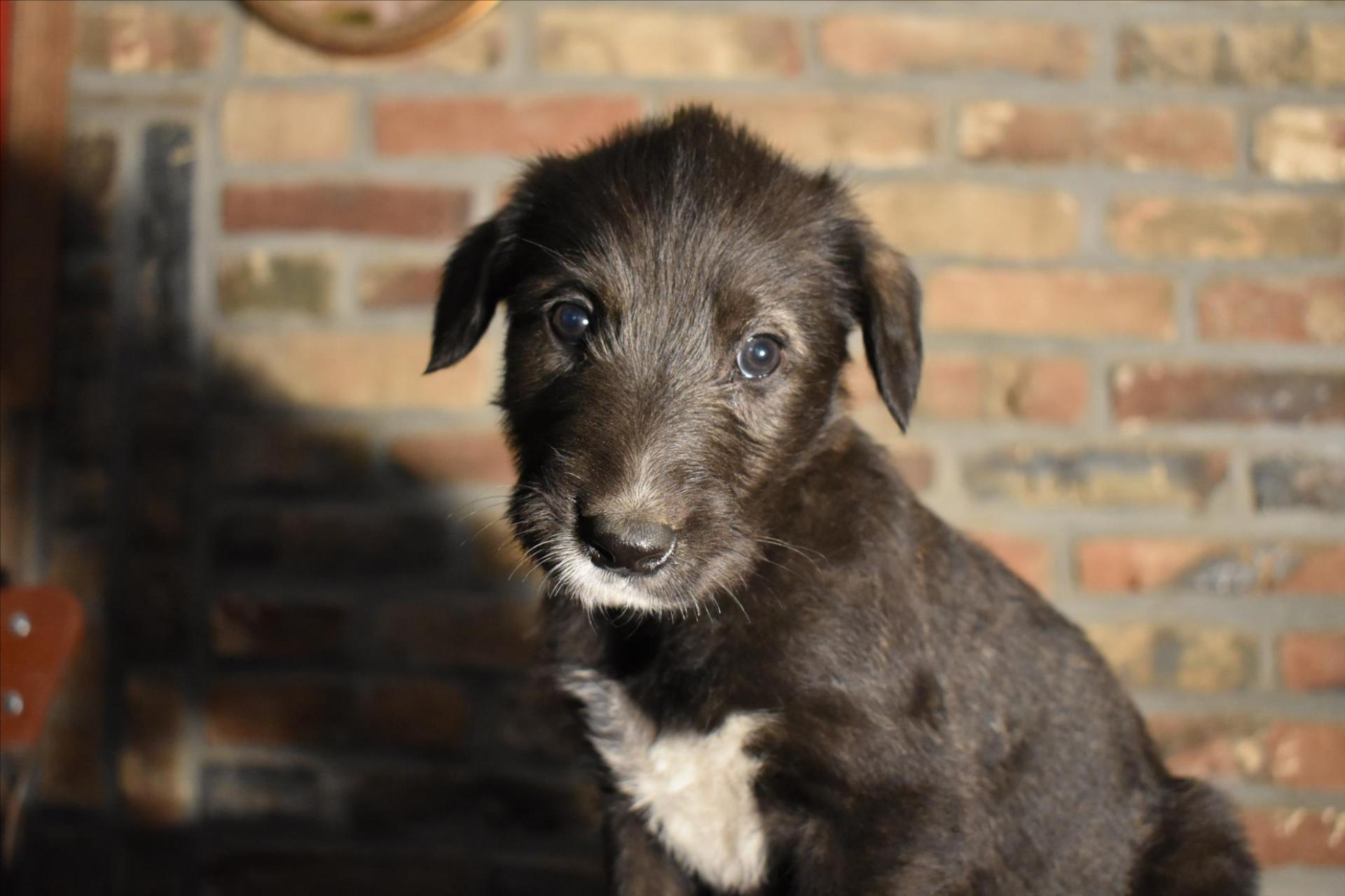 Les puppies femelles ont 5 sem