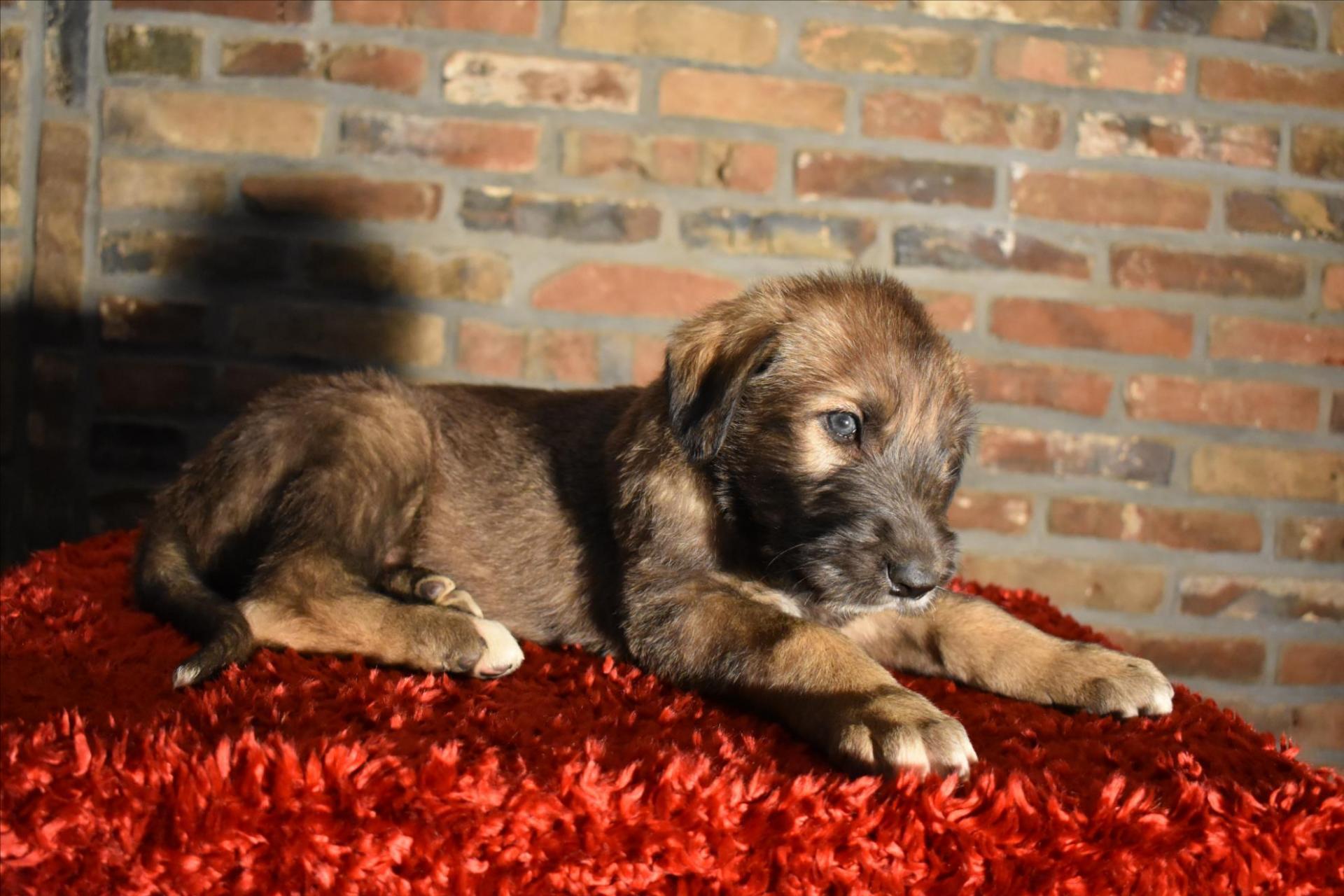 Les puppies mâles ont 5 sem